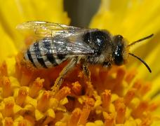 Colletes female Hartmut Wisch_0.jpg