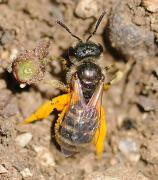 Halictus tripartitus female 2 Hartmut Wisch_0.jpg