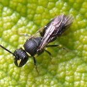 Hylaeus female by Ann Pettigrew