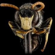 Hylaeus face by Sam Droege